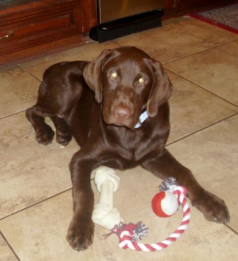 Girl Dog Names For Chocolate Labs